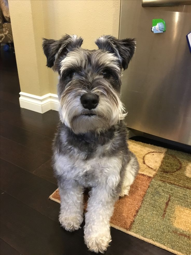 schnauzer haircut styles 29 best novi ideas quot schnauzer quot images on mini 2501