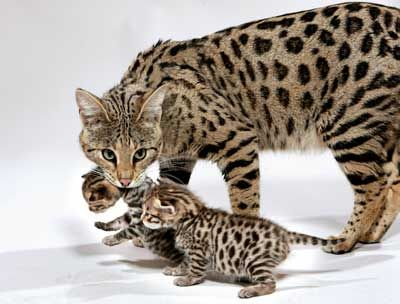 Savannah Cats. The largest domesticated cat. A domesticated cat that has been breed with a wild Serval cat. Stands to about 4.5 feet tall.
