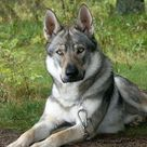 German Shepherd/ wolf hybrid.  Stunning.