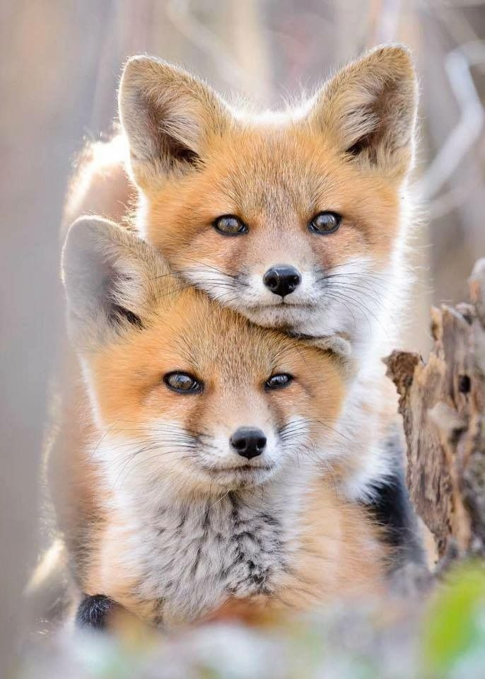These two Red Foxes look like twins!!