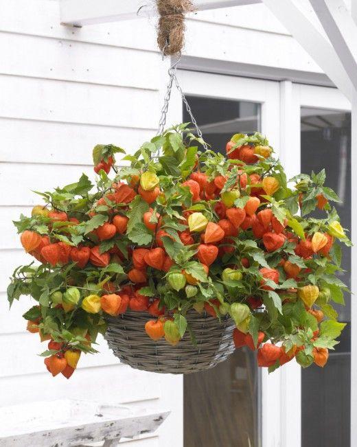 Черенкование горшечного или сохраняемого на зиму физалиса. Физалис – растение, которое любят за декоративные «фонарики», оригинальные семенные коробочки не меньше, чем за вкус его плодов. Это овощное растение — одно из самых необычных в каждом огороде. Традиционно физалис выращивают в открытом грунте, но некоторые виды этой овощной культуры могут с успехом поселиться в контейнерах и украсить интерьеры и оранжереи. Если садовые физалисы размножают летом, и полученные из черенков родят только…