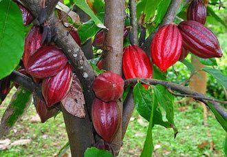 TipsKesehatan.Co ,  Manfaat buah Cokelat bagi Kesehatan  - Buah Cokelat  atau dengan sebutan ba...