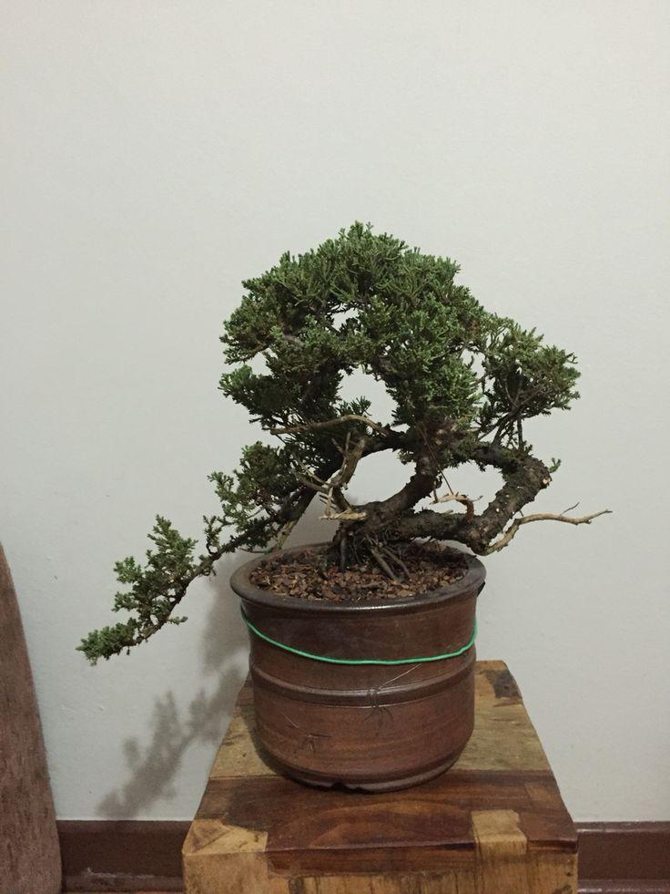 Futuro kengai - juniperus procumbens - sendo trabalhado a pouco mais de 01 ano...