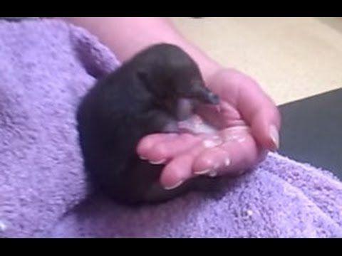 Малюсенький Детеныш Ехидны. Животные Австралии