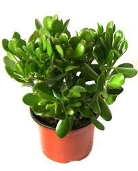 Image result for ανθεκτικα φυτα εσωτερικου χωρου