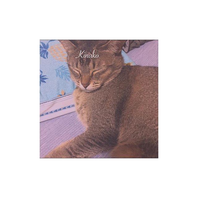 : : : : 癒し😭🙏🏻 #猫 #愛猫 #きなこ #love #アビシニアン #バーミーズ : : :