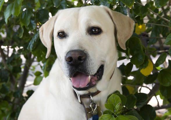 Le chien Labrador : présentation - Blog des Animaux de compagnie http://www.animalcompagnie.com/le-labrador-chien.html