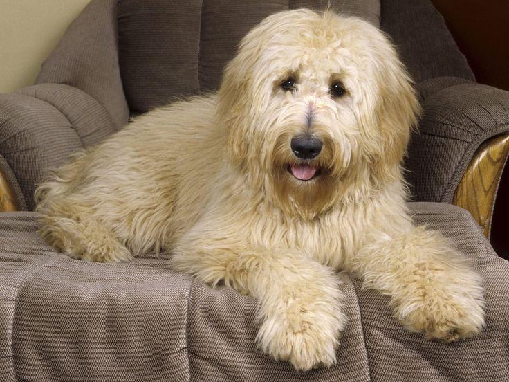 australian shepherd golden retriever poodle mix - Google Search