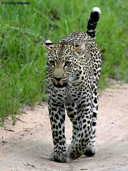 Leopard (Panthera pardus) walking a sandy track with its' tail erect front-view. Elephant Plains Game Lodge. Sabi Sands, South Africa © Scotch Macaskill.