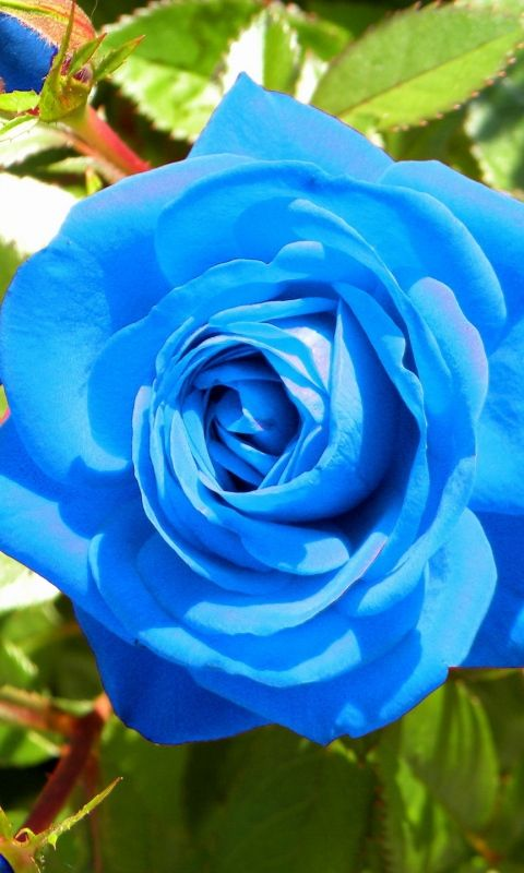Download Wallpaper 480x800 Rose, Flower, Buds, Blue, Light HTC, Samsung Galaxy S2/2, Ace 480x800 HD Background
