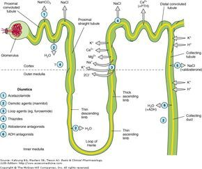 Diuretics and their action in the Nephron. Thiazides and loop diuretics (lasix) are potassium wasting, so patients may need a supplement. Aldactone is potassium sparing, so watch for hyperkalemia.