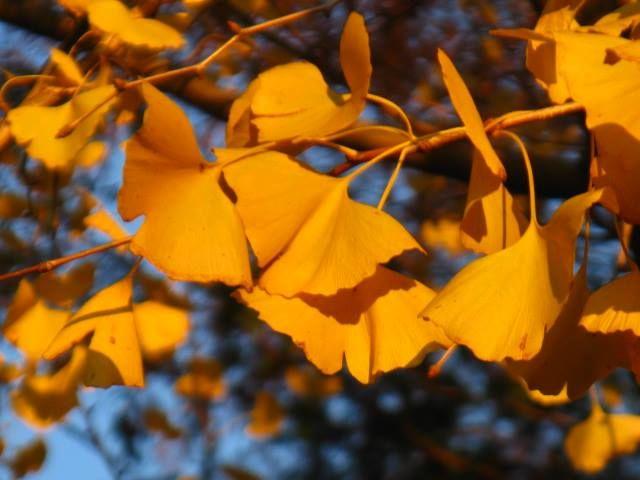 11月16日の誕生日の木は生きている化石「イチョウ(銀杏、公孫樹、鴨脚樹)」です。 イチョウ科イチョウ属の落葉高木。原産地は中国。人為的な植樹により世界中に分布しています。裸子植物門イチョウ綱の中で唯一の現存している種であり、仲間はありません。 イチョウの名前の由来は、葉の形がカモの水掻きに似ていることから、中国では「鴨脚」といわれ、「イチャオ」「ヤチャオ」「ヤーチャオ」「ヤーチャウ」などと発音されました。これが日本に入り、「イーチャウ」を経て「イチョウ」になったとされています。 漢字の「銀杏」は実の形がアンズに似て殻が銀白であることに由来し、もうひとつの漢字「公孫樹」は植樹した後、孫の代になって実が食べられるという意味によるもので、共に中国語からの由来です。
