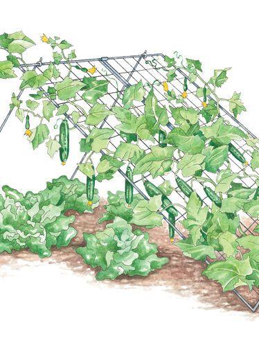 Incliner un treillis pour soutenir les concombres et faire de l'ombre au salade.