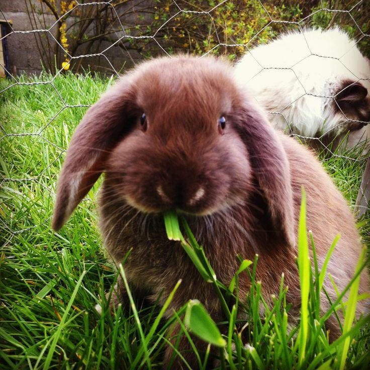 rabbit lapin belier winnie