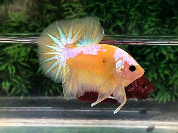 Yellow Fancy Samurai Ikan Cupang Ikan