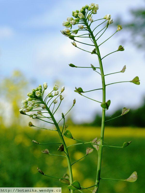 Kokoška pastuší tobolka (Capsella bursa-pastoris) patří do čeledi křížatých neboli brukvovitých.