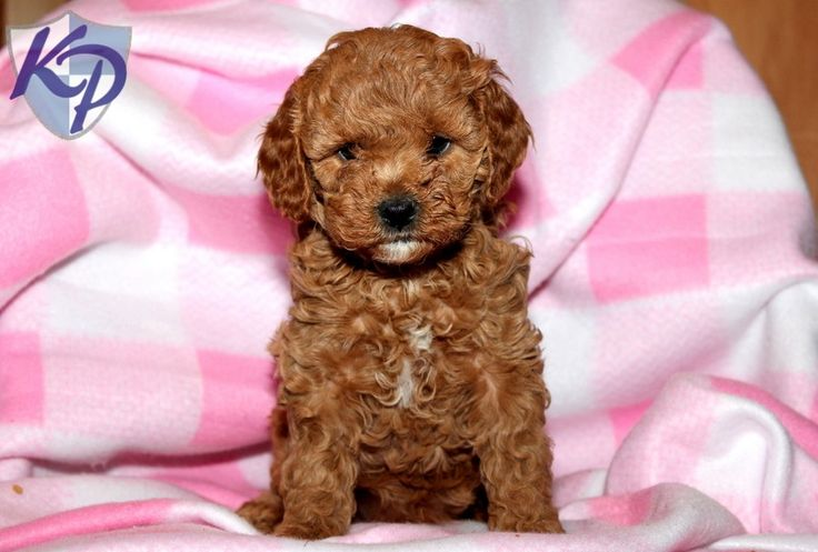 Jenny – Cavapoo Puppies for Sale in PA   Keystone Puppies