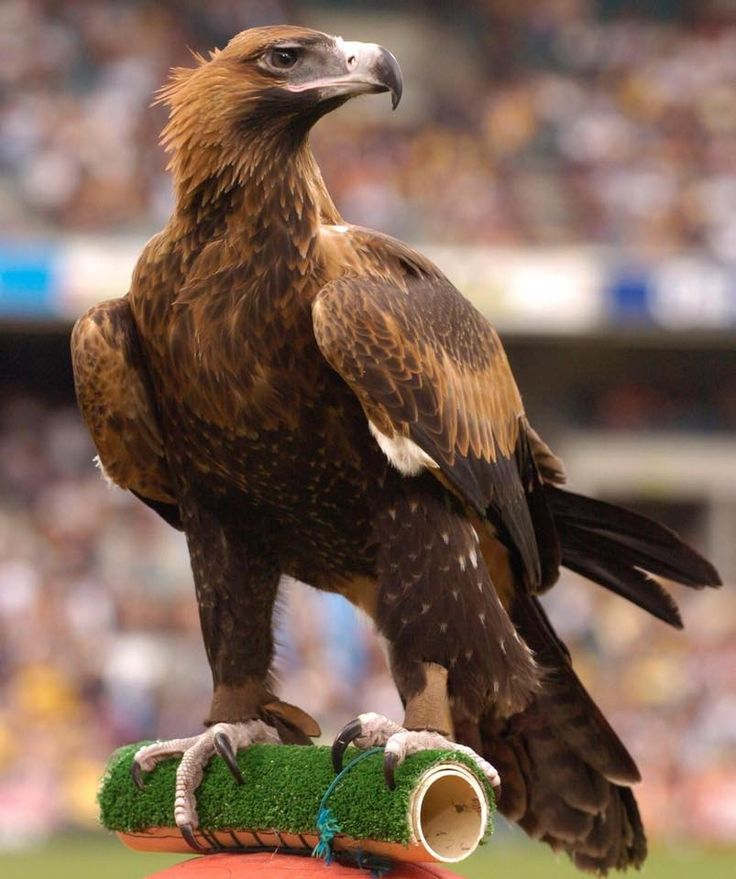 Wedge tailed eagle: 'Auzzie' from West Coast Eagles Football Club.