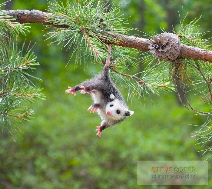 Adult opossums do not hang from trees by their tails, as