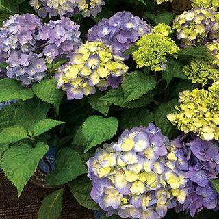 Endless Summer® BloomStruck™ Hydrangea