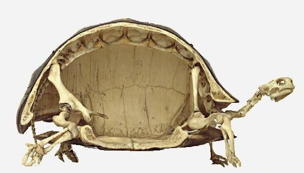 #Datoanimal Las #tortugas tienen pegada la columna vertebral al caparazón #VetsMexico