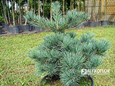 Pinus parviflora Nelliie D.
