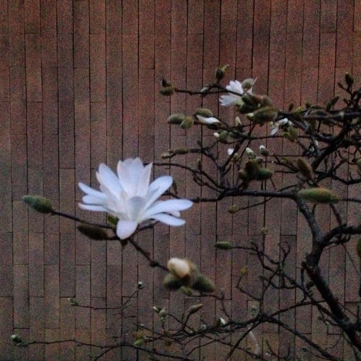 Magnolia stellata...by night!