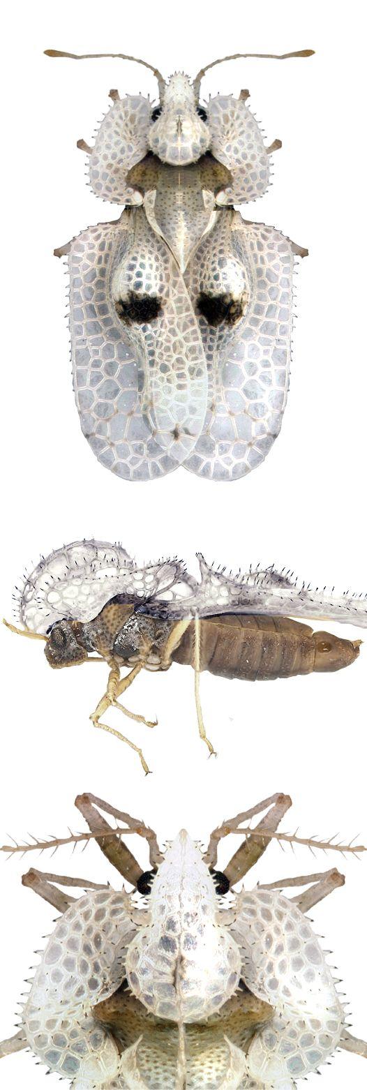 Corythucha ciliata                                                                                                                                                                                 More