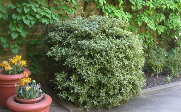 Osmanthus, an evergreen that can handle lots of shade, like here on the north side of Brookside Gardens' visitors center.