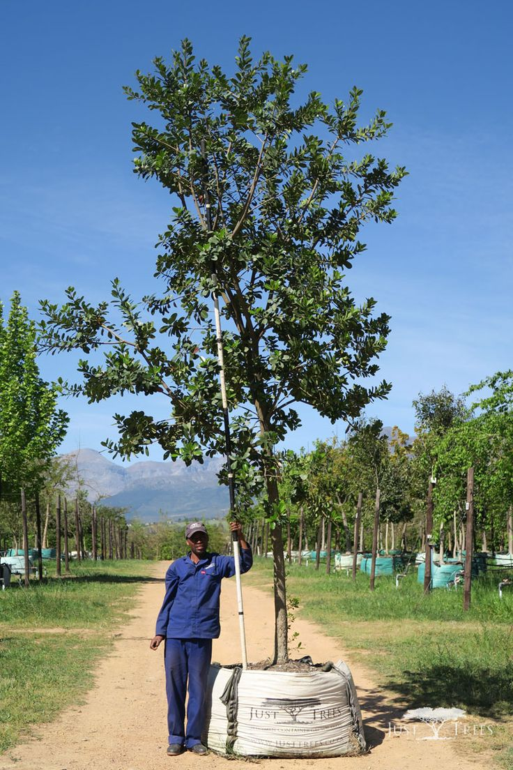 40L Milkwood, A Small To Medium Evergreen Tree That Can Grow To A Height Of  10   15m. The Dense Foliage With Black Berries And Small White Flowers U2026