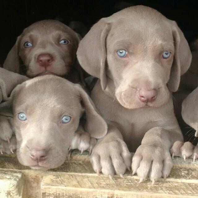 bellos cachorros | Fotos De Cachorros Weimaraner Inscritos Kennel Hijos De ...