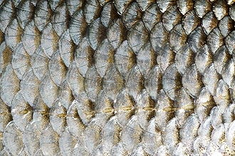 Fish scale - Wikipedia, the free encyclopedia