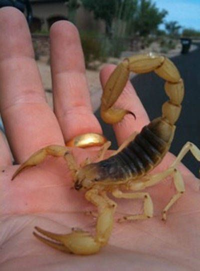 Desert Hairy Scorpion for Sale Reptiles for Sale