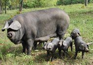Large Black Pig- according to Hobby Farm magazine the perfect pig. Old English breed, well marbled, but not with a lot of waste needing trimmed. Can be pasture raised, a true grazing pig, can be finished on grain if desired.  Will not destroy pasture, as rooting is limited to mud hole and around feeder.  Will top out at 700lbs, but when raised on lush pasture, will finish out at 250.