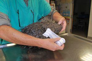 La pose d'un bandage en 8 est indiqué pour immobiliser les fractures radius cubitus ou des métacarpiens d'un oiseau ainsi que les luxations du coude ou du carpe