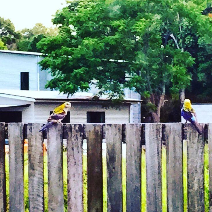 Parrots at Boat Harbour Resort Hervey Bay