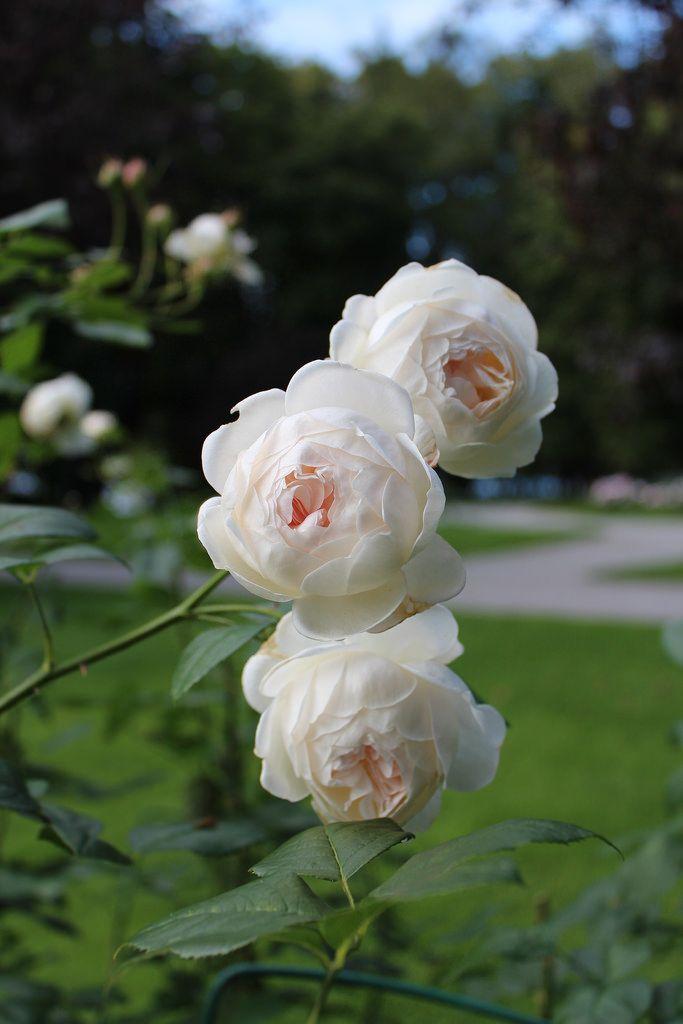 39 sebastian kneipp 39 ht rose bred by w kordes sons. Black Bedroom Furniture Sets. Home Design Ideas