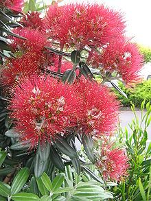 The Pōhutukawa - regarded as a chiefly tree (rākau rangatira) by Māori- is a coastal evergreen tree that produces a brilliant display of red flowers made up of a mass of stamens. It is one of twelve Metrosideros species endemic to New Zealand.