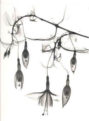 Fuchsia C11