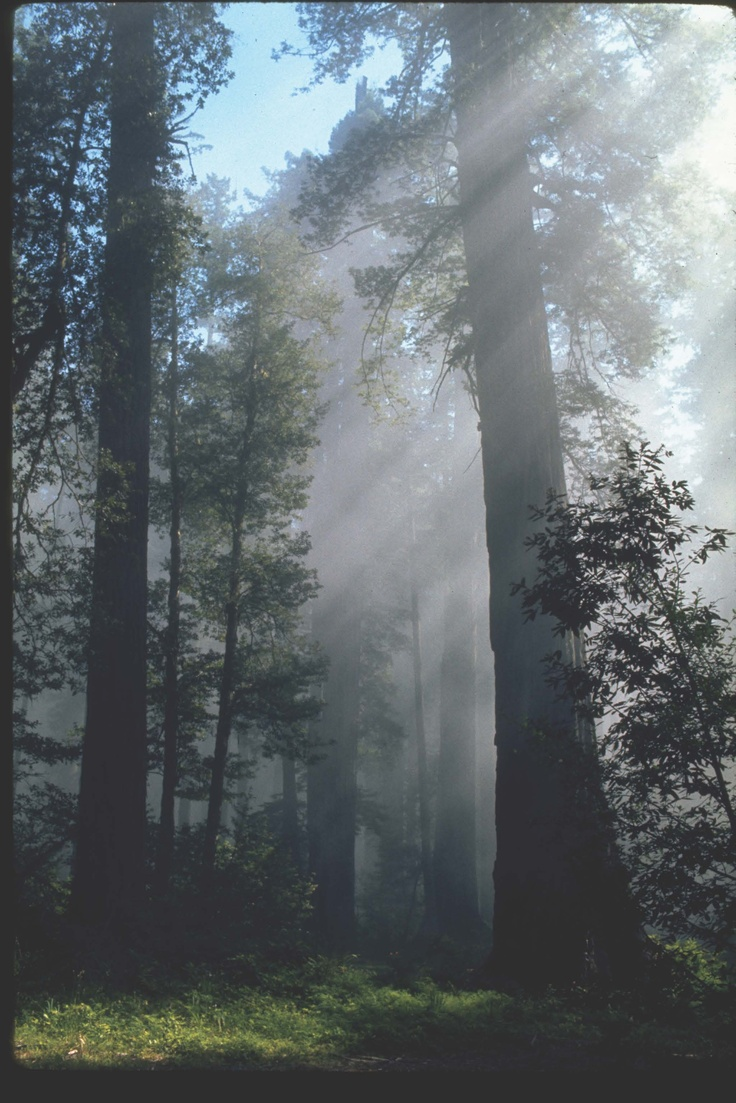 Coastal redwood trees in fog redwood national park from wikimedia commons