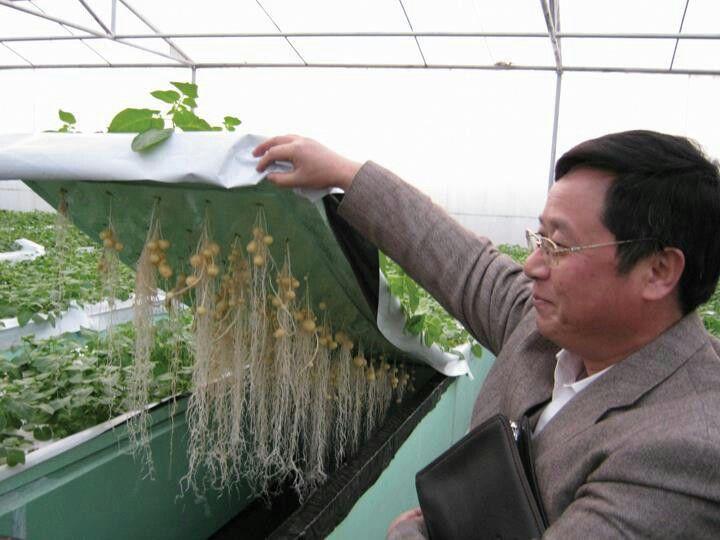 Aeroponics Growing Potatoes The Fertilised Water Wets