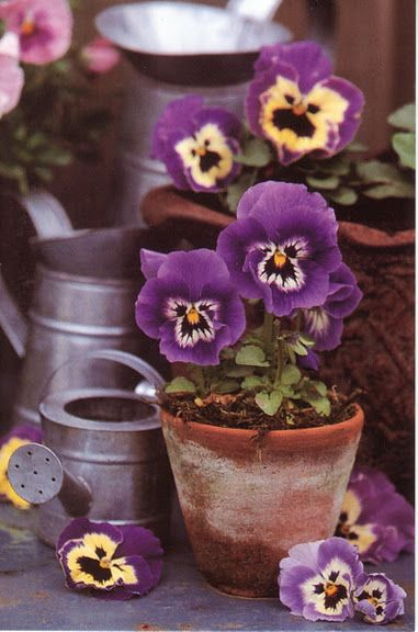 These always remind me of Alice in Wonderland - pansies...each one has a very distinctive silly little face.....love: