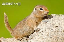 Juvenile Arctic ground squirrel
