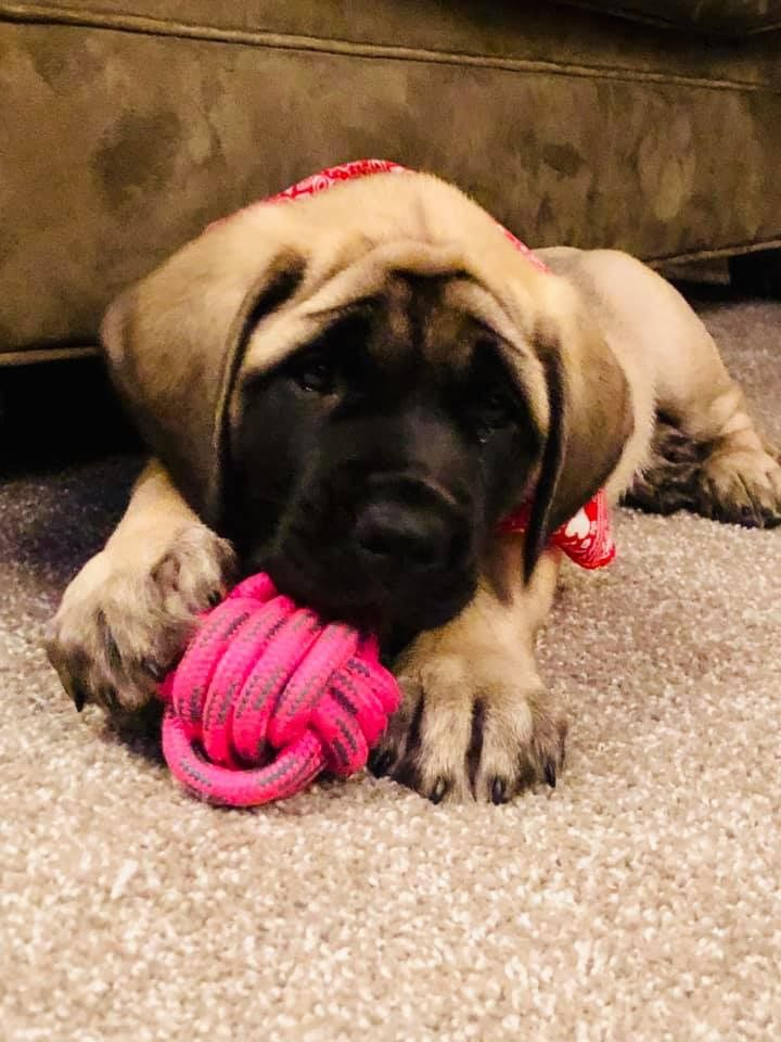 Are New Little English Mastiff Her Name Is Mabel Mastiffs Giant