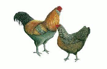Ameraucana- Easter Egg Chickens for Sale- Buy Easter Egg Chicks, California Hatchery, rancho cucumonga