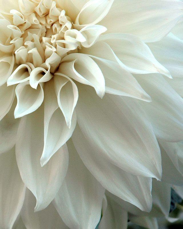 White Dahlia #flowers