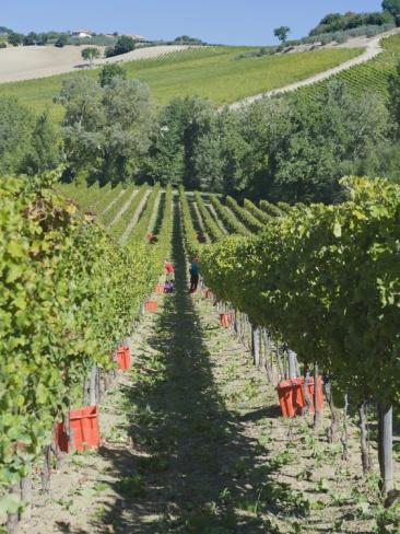 Grape Harvest, Montefalco, Italy