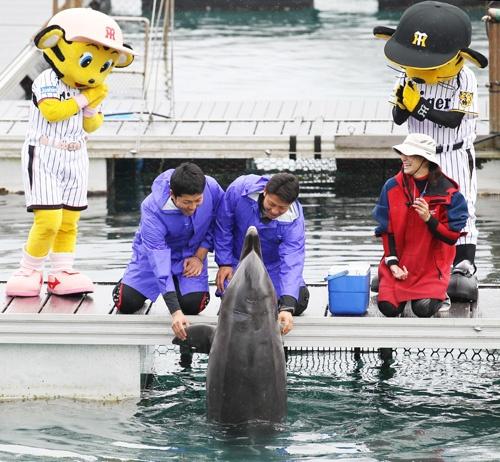 【阪神】W伊藤イルカと触れ合い「硬い」
