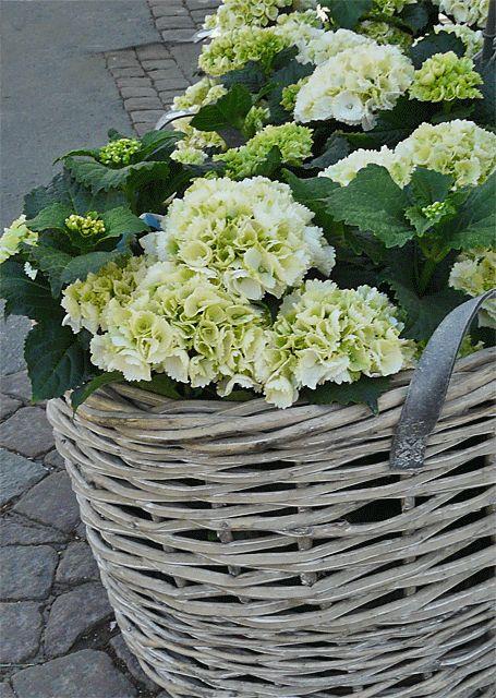 hortensia i kruka | Gillar också att ha rhododendron i kruka. Och hortensior!