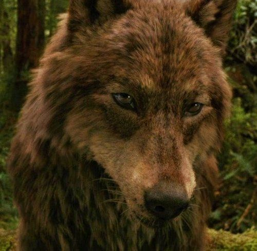 jacob and the pack as wolves | jacob wolf - jacob-black Photo
